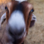 LD Goat close up