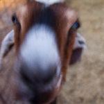 LD Goat close up